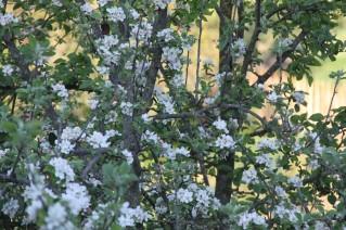 Fruitiers en pleine floraison